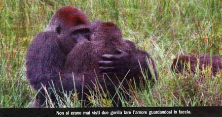 Due gorilla fanno l'amore guardandosi in faccia